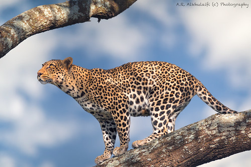 Leopardess - Female Leopard