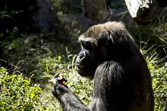 IMG_1403 (rojam1000) Tags: birds penguin gorilla bears deer lemur tigers lions crocodile seals monkeys amphibians lizards apes reptiles primates meerkats