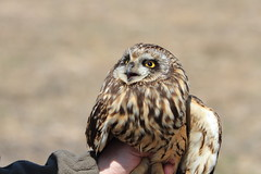 Short-eared Owl (Travis Mahan) Tags: county illinois state farm center pasture raptor owl shelby organic endangered jacques injured asio shorteared nuzzo flammeus