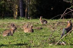 soirée entre amis ! (chleve) Tags: animaux lemans lapin sarthe larchedelanature