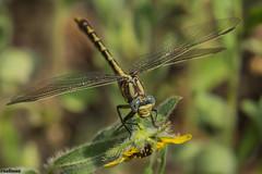 sulphur-tipped clubtail (explored 5/9/2014) (robert salinas) Tags: austin texas unitedstates dragonflies a77 odonates clubtails