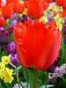 Tulpe - Schloss Dyck (Kraki Hobby Photography) Tags: pflanze blume blüte schlosspark tulpen tulpe schlossdyck dyck tulpenfeld schlosdyck krakihobbyphotography