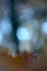 Alone... (VitorSousa1975) Tags: macro nature mushroom natureza fungi fungus cogumelo seta hongos fungo micologia
