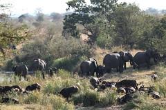 Loxodonta africana & Syncerus caffer (Dindingwe) Tags: elephant buffalo krugernationalpark capebuffalo kruger africanelephant buffle knp eléphant synceruscaffer loxodontaafricana eléphantdafrique buffledafrique