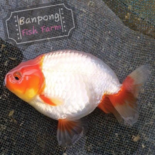 ปลาทองสวยๆ ฝากเพื่อนในวันนี้ครับ Give for everyone today.  ติดตามพวกเราได้ที่… http://banpongfishfarm.com/ https://www.facebook.com/banpongfishfarm https://plus.google.com/105202525530090694298/posts http://instagram.com/banpongfishfarm Mobile: 0819488537