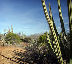 Green Cactus (William J H Leonard) Tags: travel cactus sky travelling dutch cacti skyscape landscape island flora day thenetherlands aruba foliage clear northamerica caribbean bushes cactuses netherlandsantilles thecaribbean northamerican travelphotography dutchantilles dutchcaribbean aruban