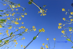 Growing Wild (Aadilsphotography) Tags: flowers blue pakistan sky yellow canon photography stems studios daffodils 18mm aadils fadils