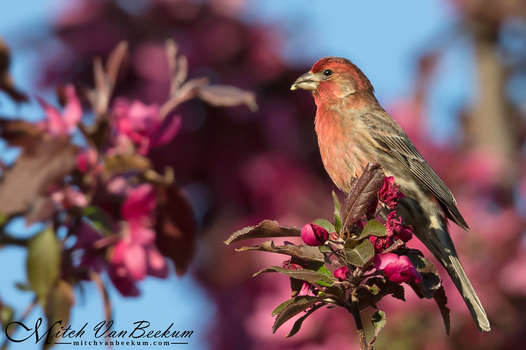 Color Explosion! (Male House Finch)