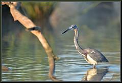 Early morning (WanaM3) Tags: mist heron nature water nikon texas wildlife bayou pasadena canoeing paddling tricoloredheron clearlakecity d7100 breedingcolors horsepenbayou wanam3 nikond7100