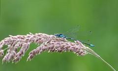 Damsel-fly / waterjuffer (peeteninge) Tags: nature insect natuur insects damselfly waterjuffer
