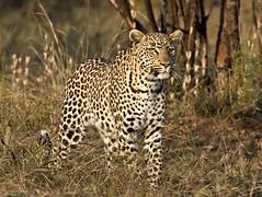 leopard (paul.ralphs) Tags: leopard bigcats wildlife predator bush bushveldnature outdoor safari africa canon canon7d
