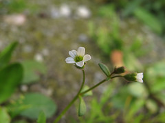Rue-leaved Saxifrage (aniko e) Tags: white flower rocks pavement stones saxifraga saxifrage saxifragaceae rueleavedsaxifrage saxifragatridactylites ktrf rueleaved aprktrf