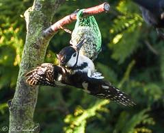 Nicht im Gleichgewicht (Fotoamsel) Tags: tiere natur vgel specht garten