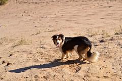 DSC_1613T (juliannahiaasen) Tags: portrait dog pet dogs animal training photography bordercollie australianshepherd dogphotography dogtraining dogportrait dogphotographer