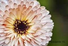 Quieres que me marchite..._DSC3609 (edgardotc) Tags: flores flower macro hana suma japn williamheinesen sonya700 edgardotc edgardojpn edgardotejadacueva