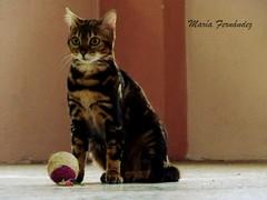 Mara (Mara Fernndez Photo) Tags: girl animals cat alba gato animales hembra bengalcat marblecat gatobengal