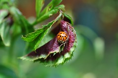 Tpitriinu (anuwintschalek) Tags: home garden austria spring may ladybird 40mm garten niedersterreich frhling kodu aed marienkfer kevad 2016 wienerneustadt micronikkor lepatriinu nikond90