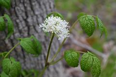 Red Baneberry (pchgorman) Tags: flowers wisconsin april ranunculaceae redbaneberry actaearubra actaea danecounty taxonomy:binomial=actaearubra stewartcountypark