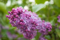 IMG_0055 (Teekanne2) Tags: pink summer plants flower tree green bush purple blossom outdoor sommer pflanzen lila lilac grn blume blte baum busch flieder drausen