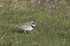 Common Ringed Plover (Charadrius hiaticula) (macronyx) Tags: bird nature birds wildlife birding aves birdwatching waders plover vogel oiseaux shorebird fglar wader commonringedplover ringedplover charadriushiaticula charadrius strrestrandpipare vadare strandpipare
