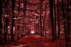 Red Forest (KJ Photographie) Tags: autumn trees tree nature leaves forest germany landscape deutschland nikon laub herbst natur landschaft wald bume baum lightroom rheine herbstfarben blumenundpflanzen benlagerbusch