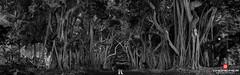 Florida Life: Bent Banyan Way (Thncher Photography) Tags: trees bw nature monochrome landscape outdoors blackwhite shadows florida sony scenic stuart fullframe fx banyantree portsalerno palmcity southeastflorida zeissfe35mmf28za a7r2 ilce7rm2 sonya7r2 stlucieboulevard