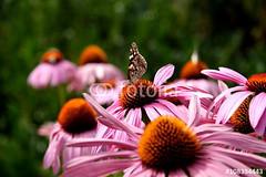 Distelfalter auf Sonnenhut (vivalatinoamerica) Tags: summer vanessa lady butterfly echinacea sommer painted coneflower schmetterling blten cardui fotolia distelfalter purpursonnenhut pupurea