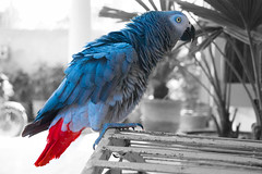 African Grey Parrot (naddesigns) Tags: red color canon grey erithacus african tail parrot cage talking gry captivity psittacus