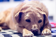 is it bed time yet? (adam*b) Tags: dog pets mutt olddog tireddog