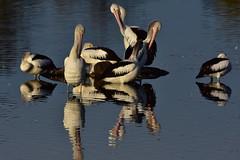 Pelicans (Luke6876) Tags: reflection bird water animal wildlife pelican australianwildlife australianpelican