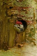 Woodpecker Baby (Adam Sibbald) Tags: nature woodpecker somerset chick naturereserve levels rspb somer hamwall