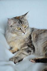2016-06-17 SOOC MAINE COON CAT (eagle1effi) Tags: cat nikon maine grace coon silvana miezi sooc d5100 d5100best