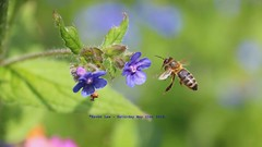 Honey To The Bee......... (law_keven) Tags: england london garden bees insects bee honeybee catford forgetmenots