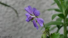 Storchschnabel (Oerliuschi) Tags: panasonic storchschnabel macroaufnahme blaueblte olympusmacro60mm lumixgx80 brackingfocus