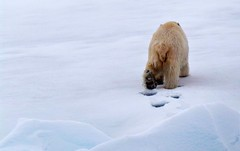 Goodbye (MoniqueM68) Tags: bear ice svalbard polarbear spitsbergen northpole