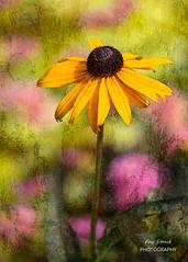 Art in the Garden (Fay Stout) Tags: rudbeckia photoart thegarden