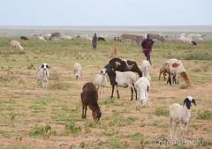 Young sheperds (KronaPhoto) Tags: safari young sheperds gjeter geit goat animal dyr tanzania africa people street landskap flokk herd
