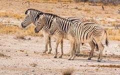 CAC_9280-20150923 (C&P_Pics) Tags: na namibia burchellszebra etoshanationalpark oshikoto namutonicamptohalalicamp