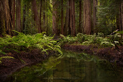 Calming Effect (Bob Bowman Photography) Tags: california trees plants green water forest landscape stream tranquility calm serene mendocino redwoods ferns