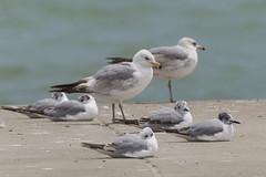DUD_3740r (crobart) Tags: lake ontario bird birds port gull erie dover ringbilled
