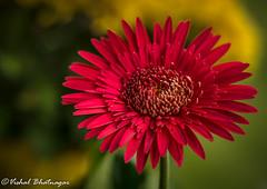 GERBERA-DAISY (vishalb_bkn) Tags: summer flower nature garden flora gerbera daisy redflower 50mm18 nikond5100