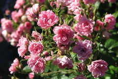 Just a lovely day (nathaliedunaigre) Tags: flowers roses summer sun love nature rose fleurs soleil warm pinky amour feeling t chaud sentiment