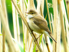 Westport Marsh Warbler ? (Alan FEO2) Tags: bird reeds outdoors wings legs stokeontrent tails beaks westportlake marshwarbler 2oef