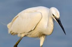 Egretta garzetta (MoGoutz) Tags: little egret