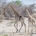 Giraffen am Boteti