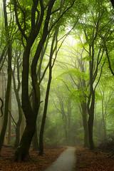 Misty morning in the forest ( Jenco van Zalk) Tags: netherlands holland jenco nikon forest trees mist fog