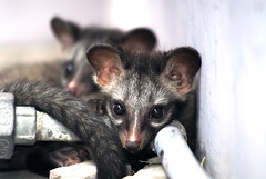 'Inquisitive eyes'...two civet cubs on my roof top!!!! (Rajib Singha) Tags: wild india nature animal cub interestingness habitat westbengal civet hooghly nikond200 flickriver sheoraphuli mfnikkor80200mmf4aislens
