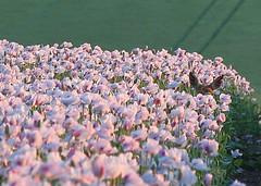 Watching Me! (2 of 2) (Robin M Morrison) Tags: field poppies wiltshire roedeer in