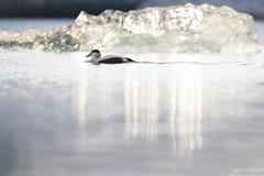 _LL-2193 (lars.lehnert) Tags: island jokulsarlon eiderente antarktis eiskristalle lnderundregionen neumayerstationii