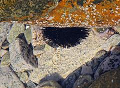 Urchin (cropped), Ravdouha, May 2016 IMG_2560 (twoislandliving) Tags: closeups urchin seascape ravdoucha crete greece